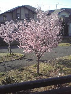 我が家の桜は満開です。