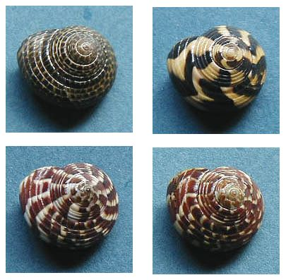 古代の貝でイタリアンディナー